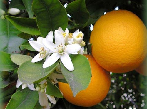 Azahar y naranjo